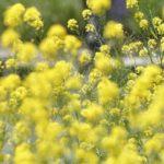 秋花粉の症状には個人差アリ!関節痛 咳 リンパ腺の痛み 無気力