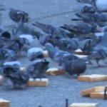 最近、ハトがベランダにきてホーホーうざい件【鳩の糞被害】